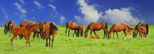 Horses On Grassland