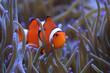Clownfish in Anemone Amphiprion percula
