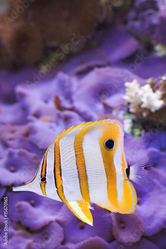 Obraz na plátně  Copperband Butterflyfish Chelmon rostratus