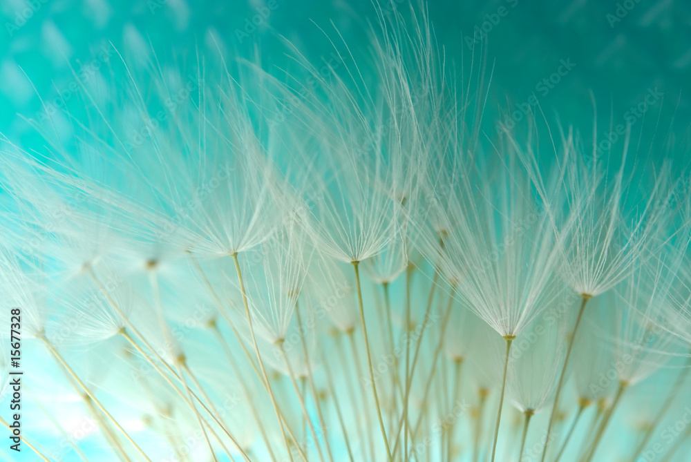 Fototapety, obrazy: dandelion seeds agains blue background