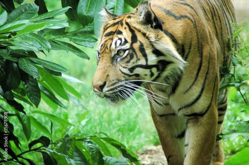 Fototapety, obrazy: tiger