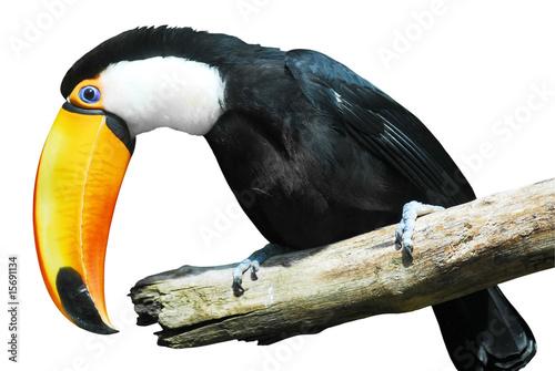Détourage d'un toucan toco sur une branche