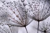 Fototapeta Dmuchawce - dandelion seeds
