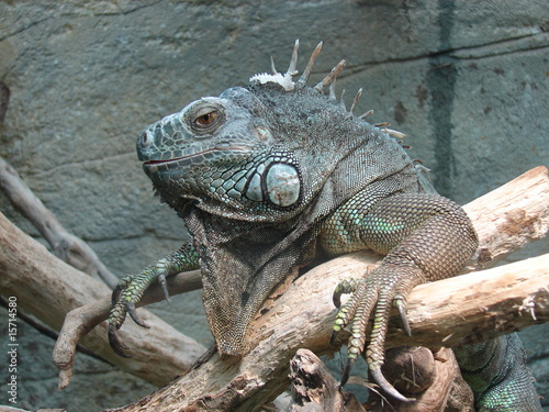 Poster Chamaleon iguane