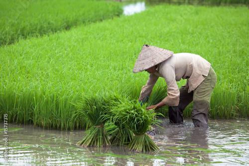 Foto auf Gartenposter Reisfelder Culture du riz - Rizière