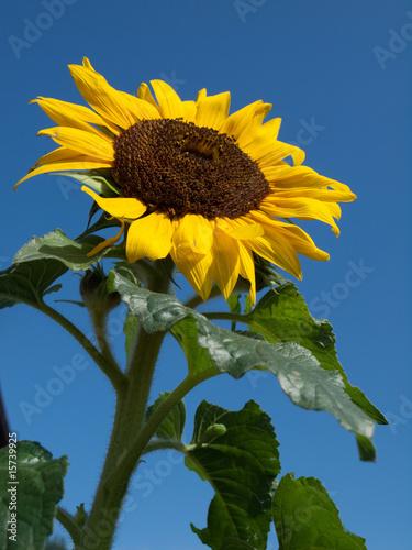 Canvas Prints Sunflower Immer wieder schön - die Sonnenblume