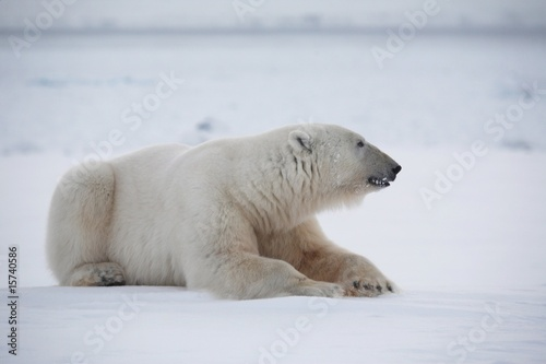 In de dag Ijsbeer Polar bear