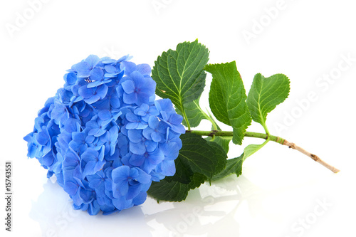 Deurstickers Hydrangea Blue Hydrangea