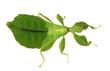 canvas print picture - wandelndes Blatt Weibchen