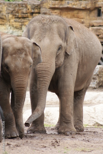 Fototapety, obrazy: Asian Elephants
