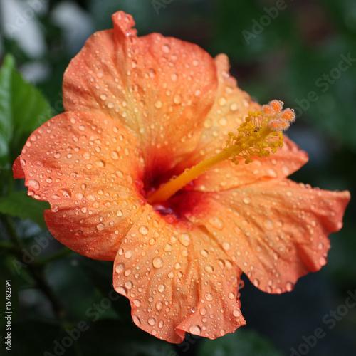 fleur d'hibiscus orange - 15782394