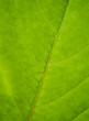 Green leaf texture....