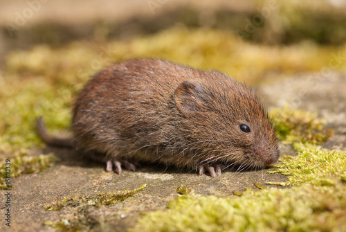 Fotomural  Short-Tailed Vole (Microtus agrestis)