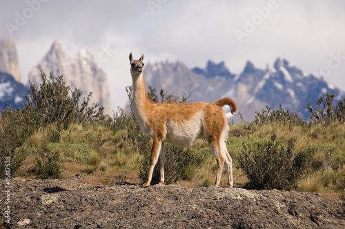 Staande foto Lama Guanaco (Lama Guanicoe) in a mountain landscape