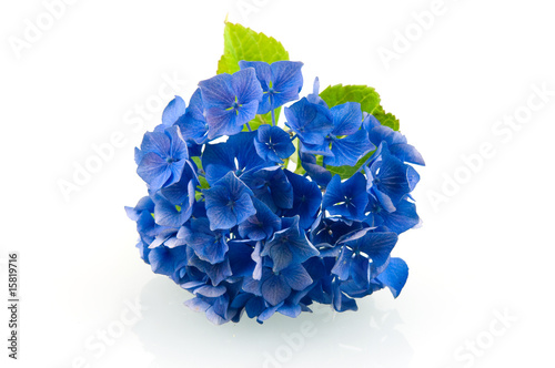 Photo sur Toile Hortensia Blue hortensia hydrangea