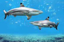 Blacktip Reef Sharks Swimming ...