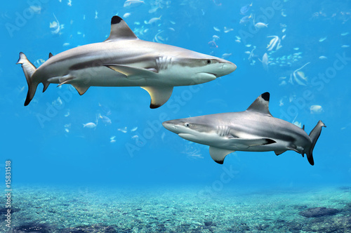 Fotobehang Onder water Blacktip Reef Sharks Swimming in Tropical Waters