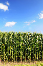 Cornfield Over Blue Sky