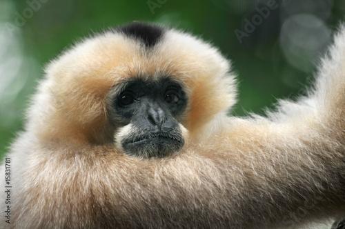 Canvas Print White-Cheeked Gibbon Monkey