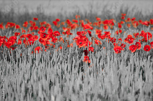 Foto op Canvas Rood, zwart, wit red poppies black white