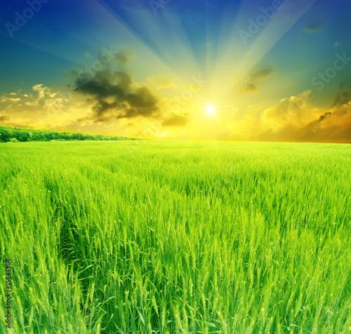 Fotobehang Zwavel geel field of wheat on a background sunset