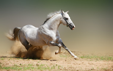Fototapeta Koń silver-white stallion in dust