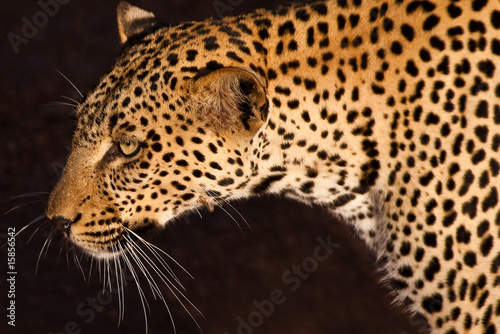 Recess Fitting Leopard Leopard, smallest cat of the savanna