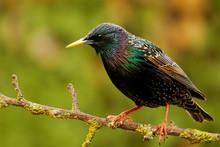 Starling On Garden Perch