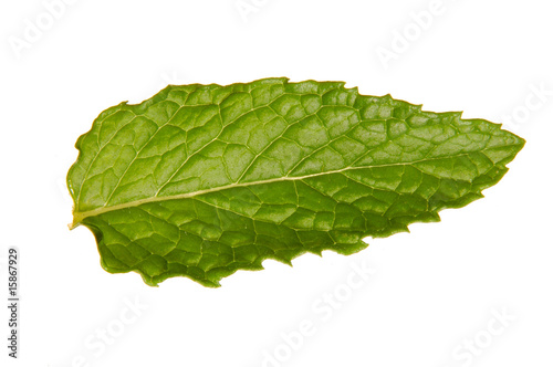 Fresh Mint Leaf #15867929