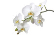 canvas print picture - Orchidee