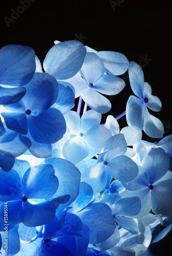 Fototapeten Künstlich light blue hydrangea