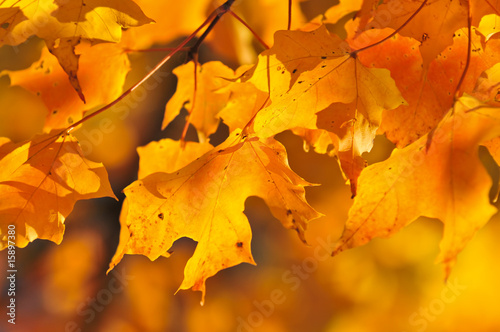 Tuinposter Meloen Fall maple leaves