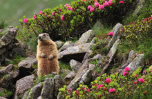 Marmot Between Flowers
