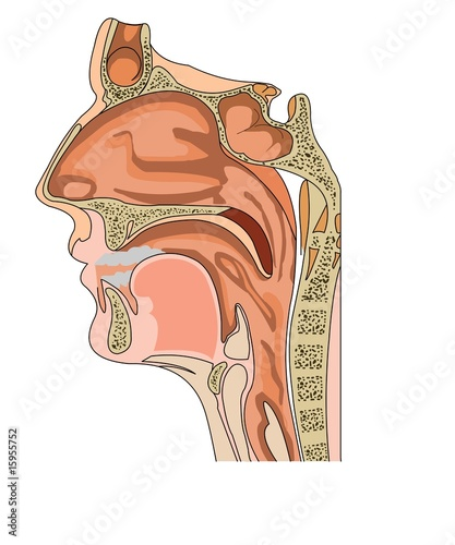 Anatomy Of The Nose And Throat Buy This Stock Vector And Explore