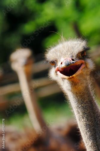 Stickers pour porte Autruche ostrich
