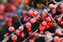 Frostiger Cotoneaster 2