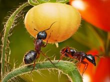 Tomato Jungles, Garden Ants Ch...