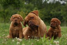 Adulte Entre Deux Chiots Dogue...