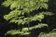 輝く竹の葉