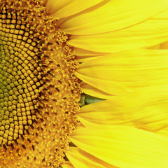 FototapetaClose-up of yellow sunflower