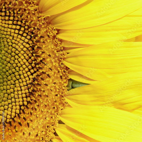 Close-up of yellow sunflower - 15996736