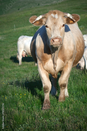 Tuinposter Koe cow in a meadow