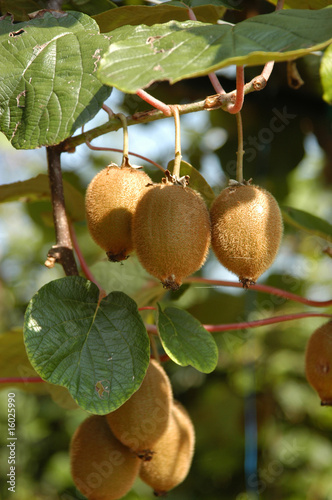 Photo Kiwi - Actinidia chinensis