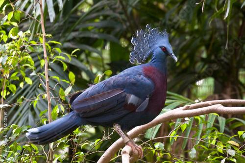 Fotografía  royal crown pigeon