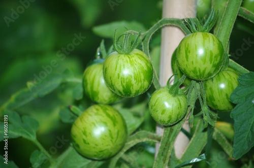 Cadres-photo bureau Zebra tomates vertes