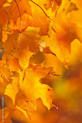 Foto-Kissen - Fall maple leaves (von Elenathewise)