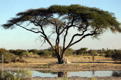 Photo Acacia tree , termite mound and waterhole