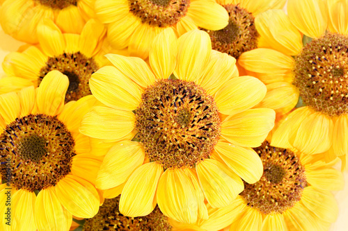 beautiful yellow Sunflower petals background - 16067516