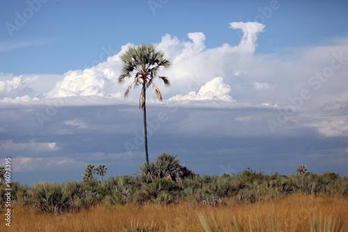 Slika na platnu Palm tree and thunderclouds in the Okavango