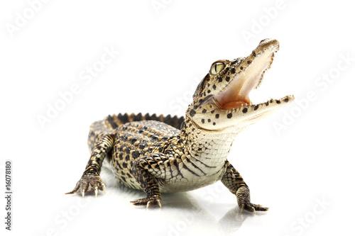 Fotografie, Obraz  Cuban crocodile